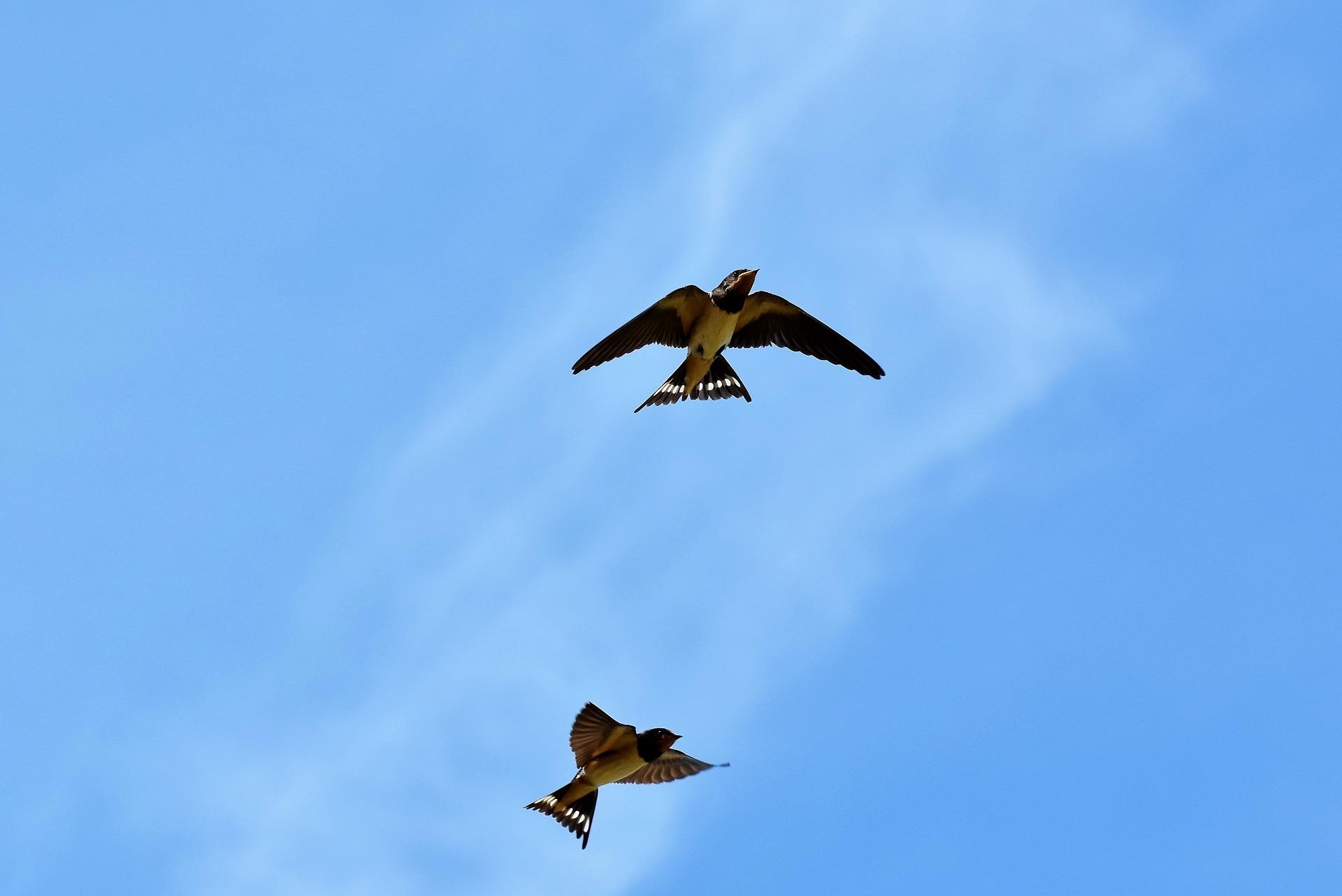 fecske vonulás költözés költöző madarak város természetjárás füsti urbanology