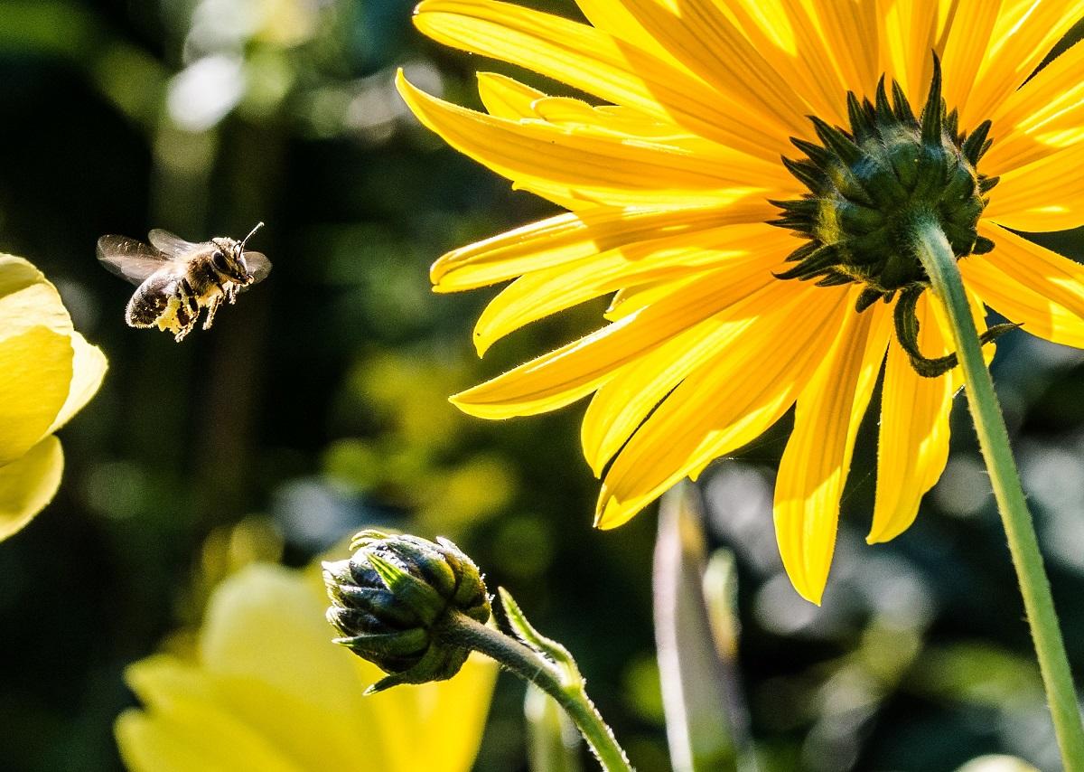 tények és tévhitek a beporzókról méh csíp