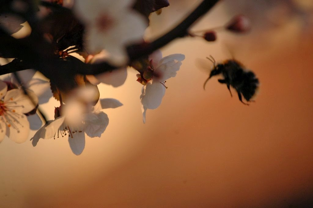 beporzó hadművelet poszméh virág szívószerv mondolo egyesület urbanology